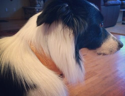 Customer One Ring Collar Border Collie